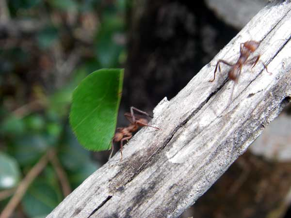 leaf cutter ants on a stick